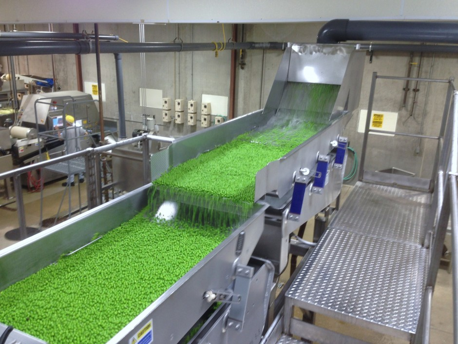Peas roll down the conveyor belt at the Sno Pac factory. Each pea is washed, inspected, blanched and frozen straight from the field truck.